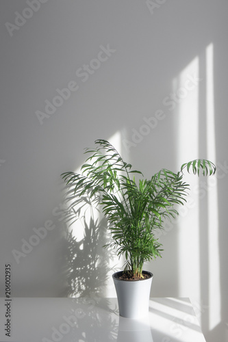 Green plant Areca in a flowerpot on a table against a white wall background Canvas Print