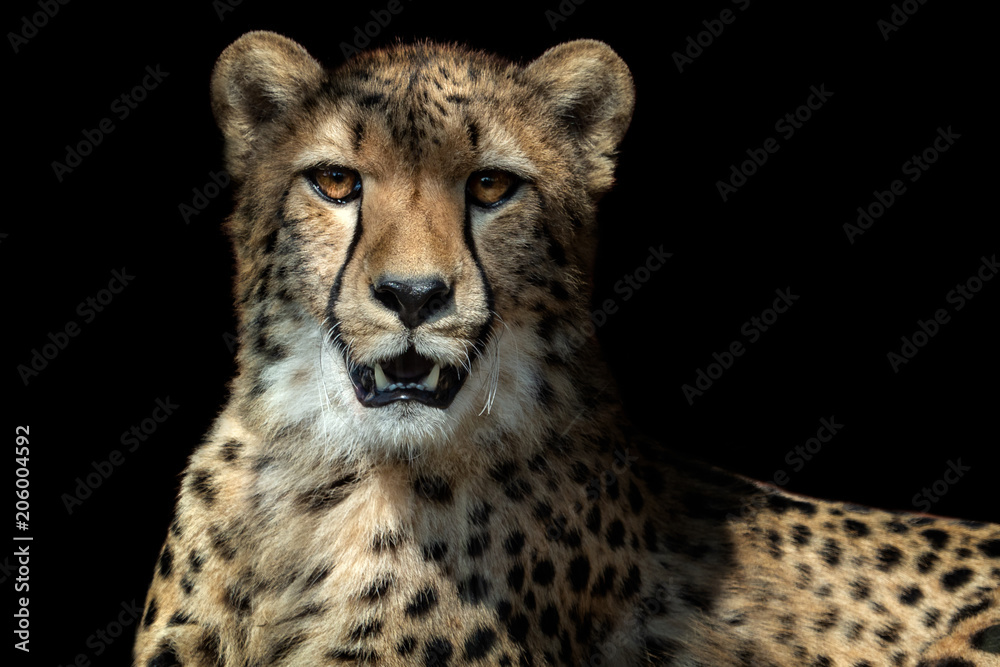 Cheetah portrait (Acinonyx jubatus) on black background
