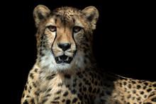 Cheetah Portrait (Acinonyx Jub...