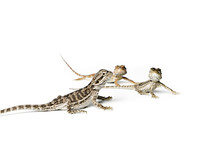 Agama. Baby Bearded Dragons On White Background.