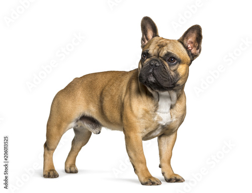 Poster Bouledogue français French bulldog standing against white background