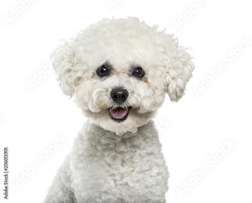 Photo  Bichon Frise dog in portrait against white background