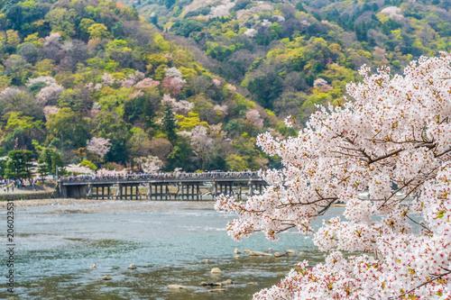 京都の春の風景 嵐山の満開の桜 京都 日本