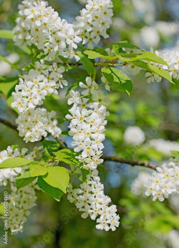 Naklejka premium Czereśnia pospolita, Prunus padus, kwiaty