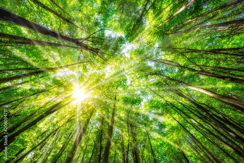 Fototapeten Wald Grüne Blätter im Wald im Sommer mit Sonnenstrahlen durch die Wipfel
