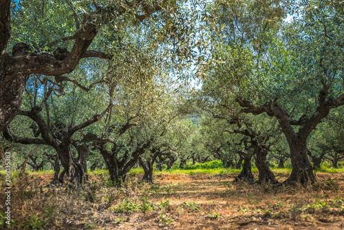 Fotobehang Olijfboom group of old olive trees