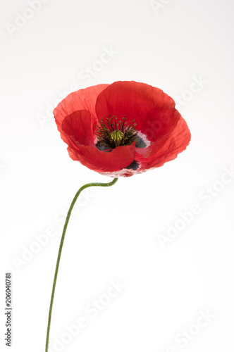 Poster Poppy bright red poppy flower