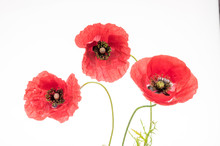 Bright Red Poppy Flower