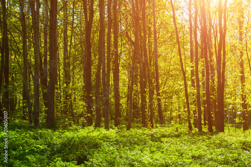 Forest landscape - forest trees with grass on the foreground and sunset light shining through the tree branches