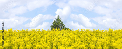Beautiful spring landscape: green tree in the field of blooming yellow rape and blue sky with white clouds