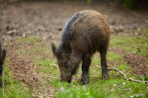Fotobehang Ree Juvenile wild hogs