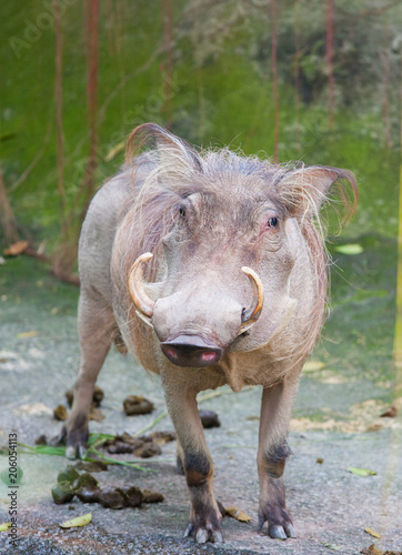 Photo  Warthog at the Zoo