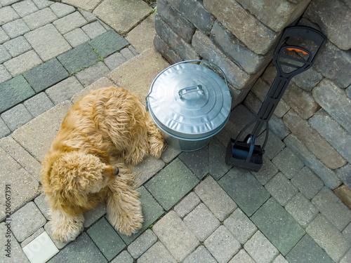 Golden Cocker Spaniel Lying Near A Pooper Scooper