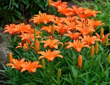 Vibrant Orange Asian Lilies In...