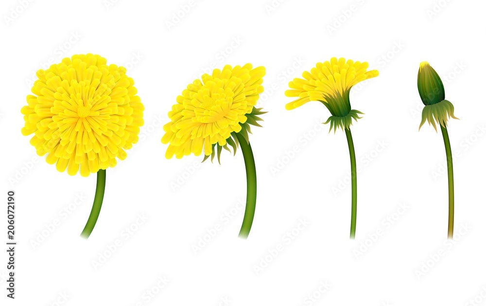 Fototapety, obrazy: Stages closing flower dandelion, isolated. Gradual folding of petals of plant. Vector illustration of living natural phenomenon