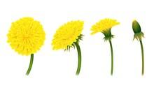 Stages Closing Flower Dandelio...