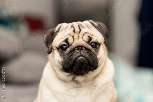 cute pug dog have a question and making funny face,Selective focus Canvas-taulu
