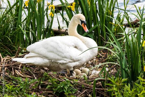 Fotografia, Obraz  Schwan mit Nest und Gelege