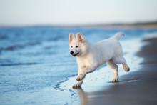 White Swiss Shepherd Puppy Playing On The Beach