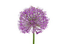 Ball-shaped Flower Bulb On Whi...