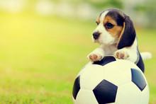 Cute Little Beagle Playing Foo...
