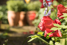 Close-up: Bright Red Tulips And Blue Hyacinths Bloom In A Garden On A Blurry Background Of Clay Flower Pots With Green Herbs On A Sunny Day.