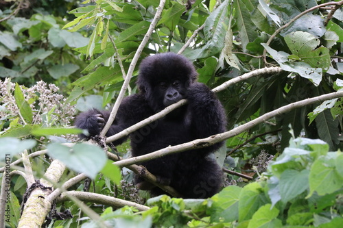 Photo  Mountain Gorilla, Baby plays in the trees, Democratic Republic of Congo, Africa