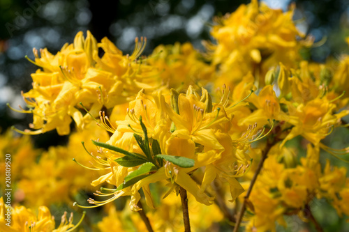 Papiers peints Azalea Flowering young coniferous trees in the spring in the forest. Selective focus