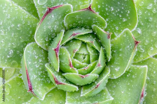 Sempervivum succulent plants 1 Tableau sur Toile