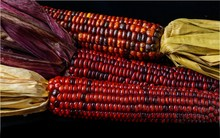 Indian Corn Marks Another Autumn Harvest