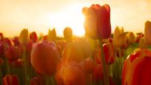 CLOSE UP Gorgeous Golden Sun S...