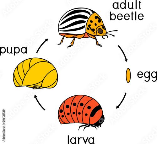 Fotografia Life cycle of Colorado potato beetle or Leptinotarsa decemlineata