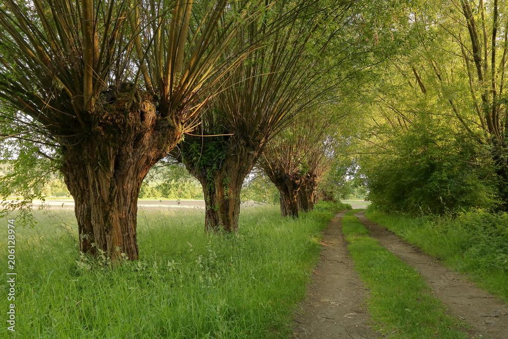 Fototapeta Tradycyjny polski krajobraz z wierzbami rosnącymi przy polnej drodze, która prowdzi w dal i ginie w gęstwinie, wiosna