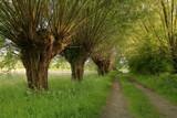 Tradycyjny polski krajobraz z wierzbami rosnącymi przy polnej drodze, która prowdzi w dal i ginie w gęstwinie, wiosna