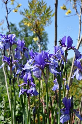 Spoed Foto op Canvas Iris blue flowers of the Delavay iris (Iris delavayi), belongs to the family Iridaceae, the region of origin is southwest China
