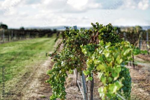 Foto op Aluminium Wijngaard vineyard