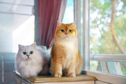 Fototapeta Two cats are lovers. obraz na płótnie