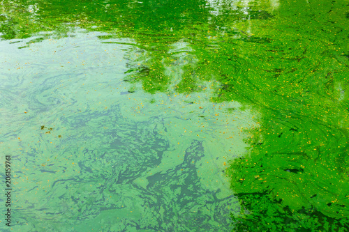 green water pond tropical lake, ecology of algae in swamp. Fototapeta