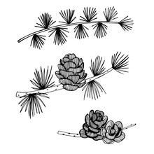 Hand Drawn Branch And Cones Of...