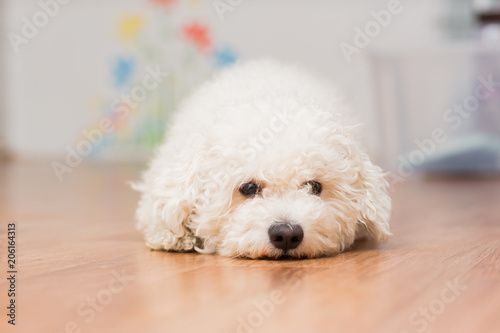 Vászonkép  A dog of Bichon frize breed of white color lies on the floor