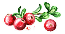 Cranberry Composition. Fresh Berries With Leaves And Branch. Hand Drawn Watercolor Illustration  Isolated On White Background