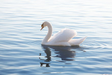 Tender White Swan Is Swimming ...