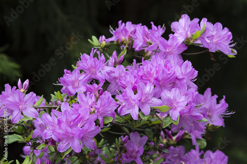 Purple azalea flowers on bushes.