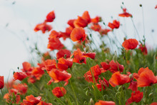 Red Poppy Flowers. Poppy Flowe...
