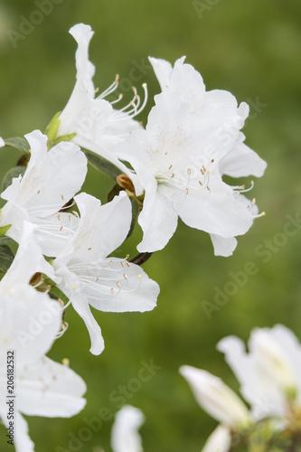 Papiers peints Azalea White azalea flowers on bushes.