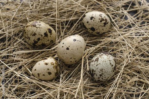quail eggs on the hay