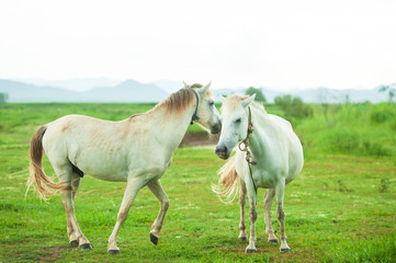 Couple white horses grooming and playing in the grassland in rainy. Mountains and white sky background. Thai Horse. Thailand.