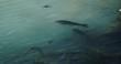 沼に生息する野鯉