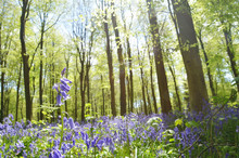 Rising Above The Bluebells