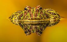 Argentinian Ornate Horned Frog
